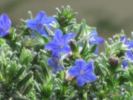 Small Blue Flowers by sanjouin-dacapo