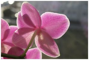 Orchid VI by DysfunctionalKid