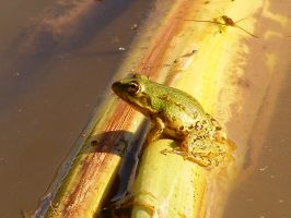 frog by bellalleb-stock