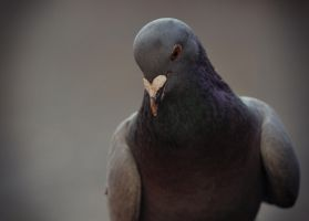 Portrait of pigeon by Anlin