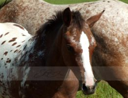 Appaloosa Foal by DappledLight