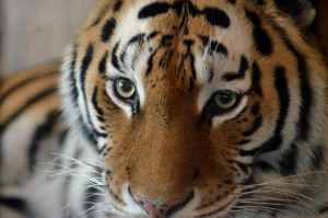 Panthera tigris altaica by bloodyjules