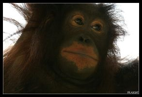 Baby Orangutan by fraughtuk