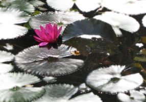 Water Lily by kpt