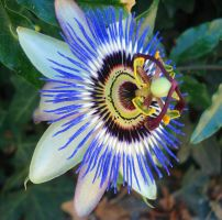 Passion Flower by LukasB86