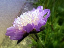 Scabiosa 3 by Lupsiberg