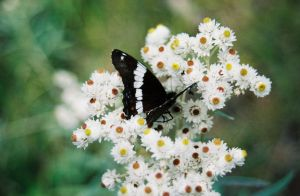 Butterfly pearly everlasting by Captain-Planet