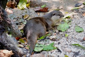 Smooth-coated otter by GreenNexus51