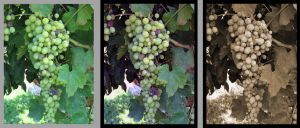 grapes: quick photo fix by dragontale