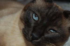 Siamese Blues by MusArtem