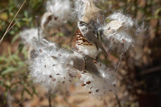 Milk Weed Fluff by bac49on