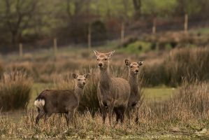 Sika Deer Family by linneaphoto