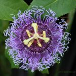 Passion fruit flower by emmil