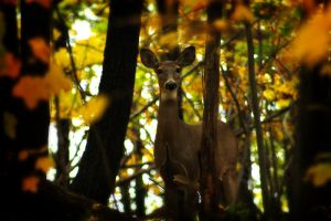 Alert Doe by S-H-Photography