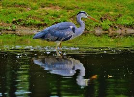 Grey Heron's Hunting by PsychodelicMess