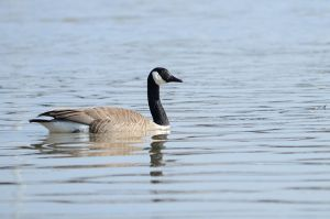 Canada goose by GuillaumGibault