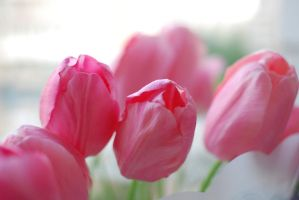 tulips by Haziness
