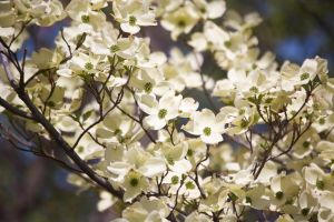 Flowering dogwood by MagicCometART