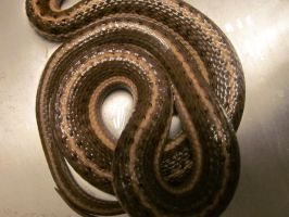 Snake Scales by Spinian