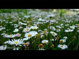 Spring Daises by LorenzoDiFolco