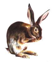 Rabbit Colored Pencils Study by PauloDuqueFrade