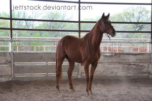 chestnut thoroughbred by jettstock