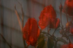 blurry rose by tashanzac