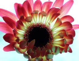 Backlit Gerbera 02 by s-kmp