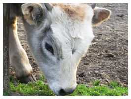 Hungarian Grey Cattle by KungfuHamster