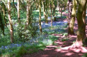 Blubells in the Woods by davepuls