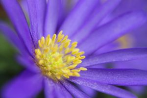 Purple flower yellow Pollen by S-H-Photography