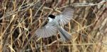 Chickadee in flight by sgt-slaughter