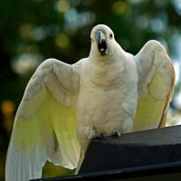 Juvenile Cockatoo by Inadesign