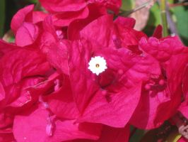 160 Bougainvillea by crazygardener