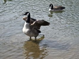 canadian geese III by Baq-Stock