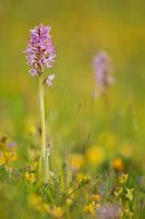 Orchis militaris II by MartinAmm
