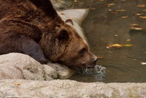 Drinking bear by Tygrik
