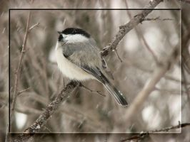 Chickadee 3 by dove-51