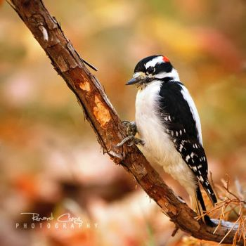 .:Downy Woodpecker:. by RHCheng