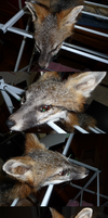 Gray Fox Mount WIP by Earldense
