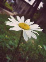 white daisy by bibi2392