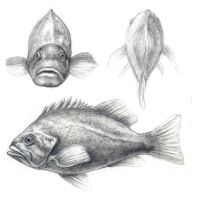 Fish sketches by wretchedharmony-lina
