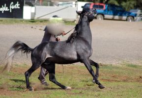 TW Arab steel gray canter head up haunch down by Chunga-Stock