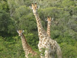 Giraffes by coginamachine