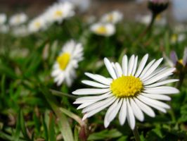 Little Daisies by anakinpedro