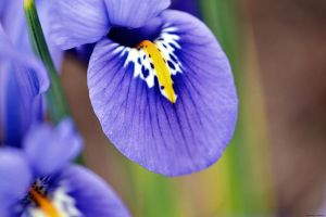 Reticulated Iris by WickedOwl514