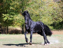 Keegan Friesian Stock 2 by LarissaAllen