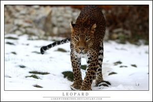 Leopard by AF--Photography
