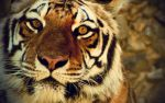 Eyes of the Tiger by anandacamargo