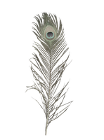 Albino Peacock Feather stock by ED-resources